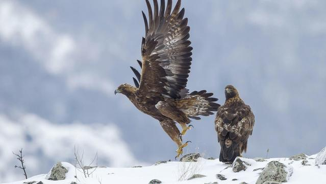 Golden eagle: A fierce raptor and romantic lover-中华时报